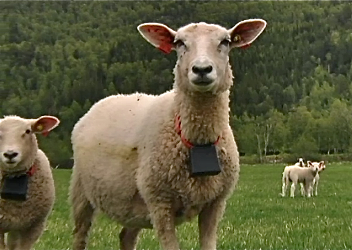 Globalstar Equips Findmysheep With 12 000 Transmitters For