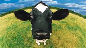 Cows can generate 200Mb of data per year