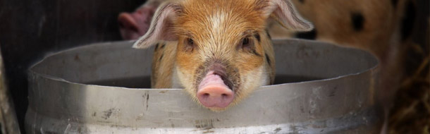 The Internet of Pigs is set to fly