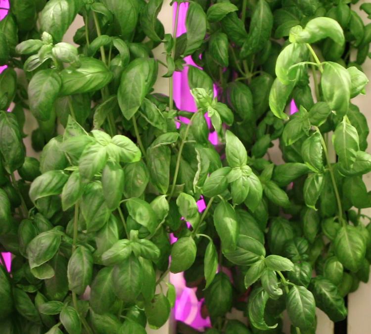 Leafy-Green-Machine-Basil2